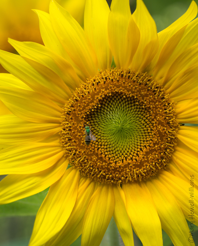GreenbeeSunflower-06_18_45.jpg