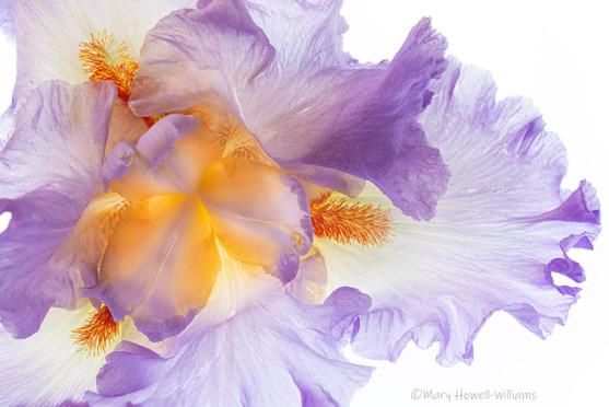 Iris_light.jpg