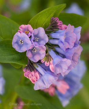 pinkbluebells_DSC2402.jpg