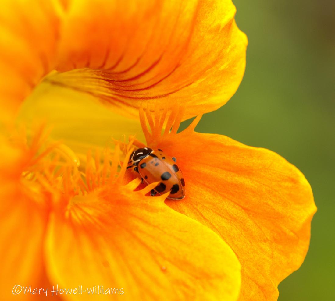 Ladybug_Nasturtium.jpg