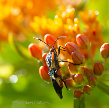 Jeweledmilkweedbug.jpg