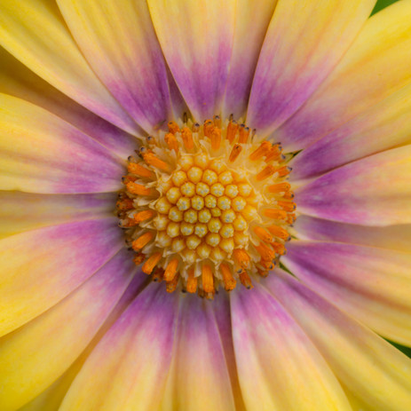 Yellow&PinkDaisy-05_18_115.jpg