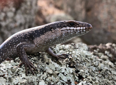 Investigating How Lizards Learn