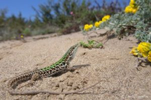 Hot off the press! An invasive lizard species can learn from other species