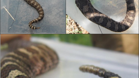 Tails and tribulations of attaching transmitters to snakes