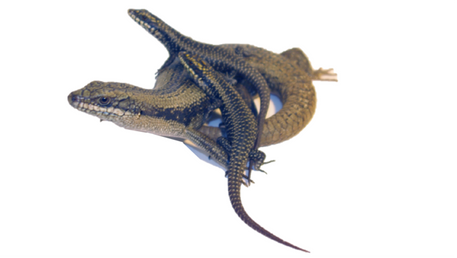 Skinks and Ladders: A family-living lizard's learning ability is not affected by their home environm