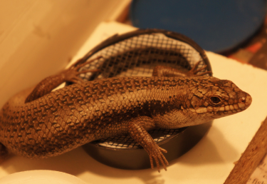 Tree Skinks Go To School: The Complexities of Social Learning in Lizards