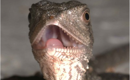 Up for a fight or doing a runner, for a lizard it could be in their genes