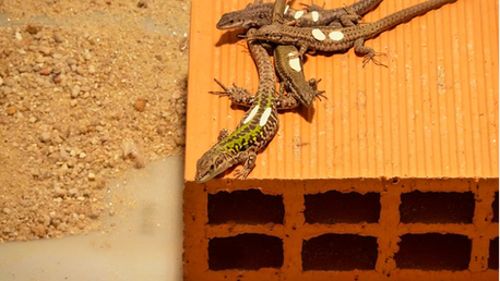 Competing through eating: lessons from a lizard