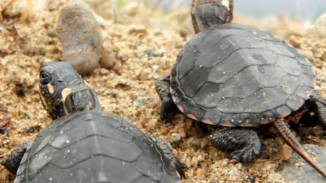 Hot off the Press, Holiday Edition: Hatchling Turtle Overwintering