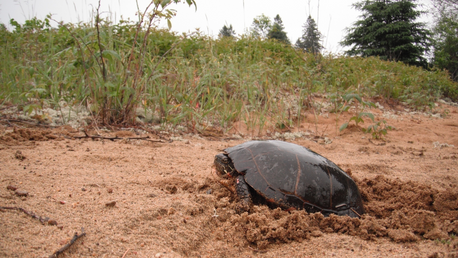 FAQs about Ontario Turtle Conservation: What can you do?