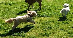 Dog walker Gladesville