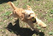 Dog walker Drummoyne