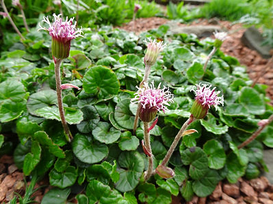 Purple Coltsfoot