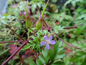 Geranium purpureum ssp. forsteri