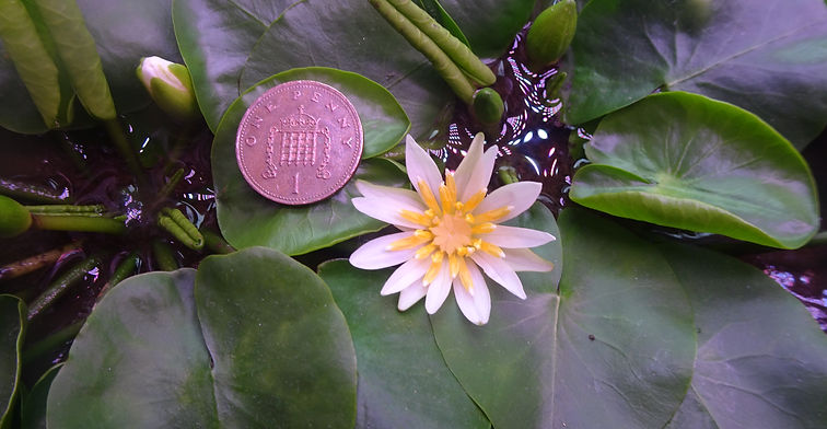 Pygmy Rwandan Waterlily