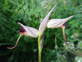 Tongue-orchid