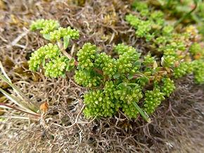 Herniaria ciliolata ssp. ciliolata