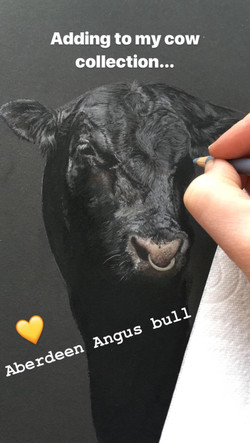 'Aberdeen Angus Bull' Pastel Drawing