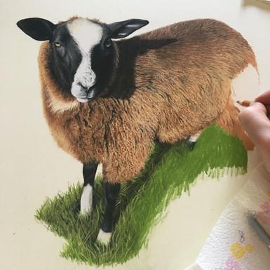 'Tommy' Zwartble sheep