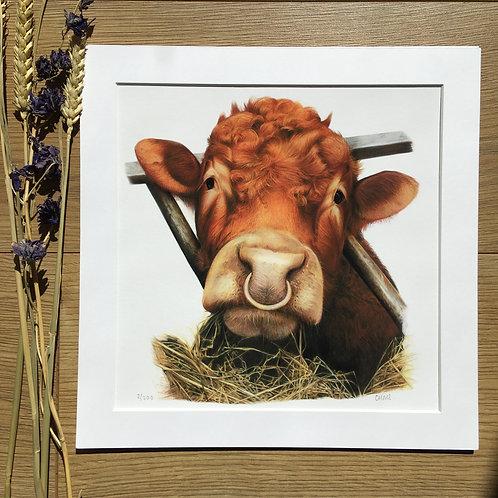 Limousin Bull giclee print 'Winnie'
