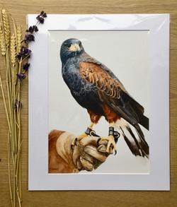 Harris Hawk Print