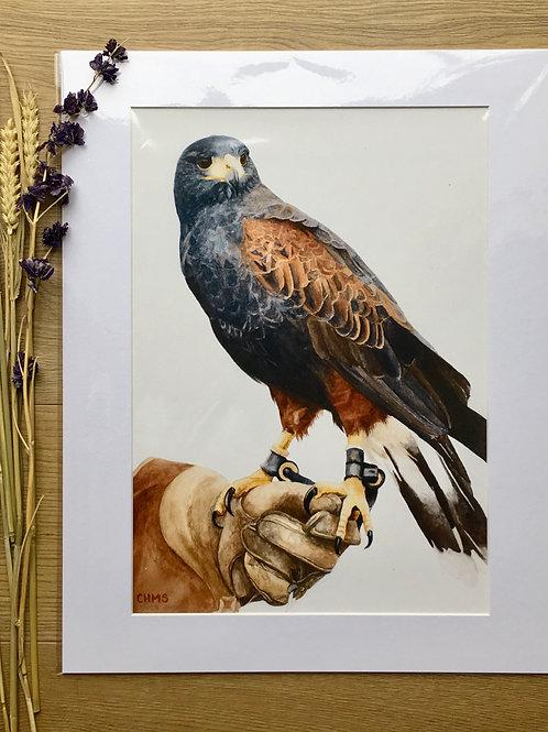 Harris Hawk giclee print