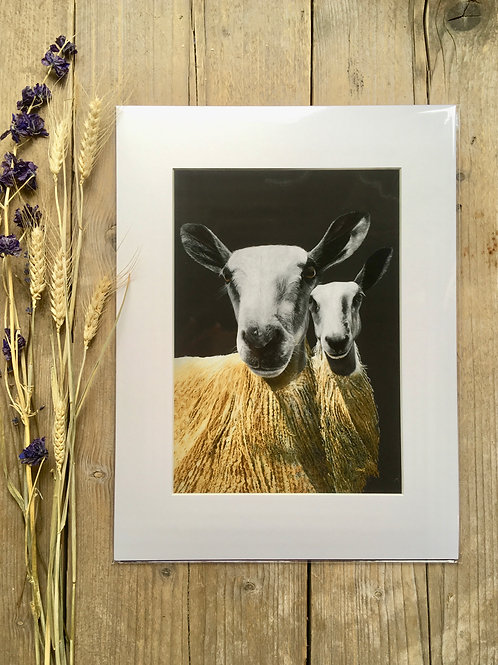 Blueface Leicester Sheep giclee print | Double trouble