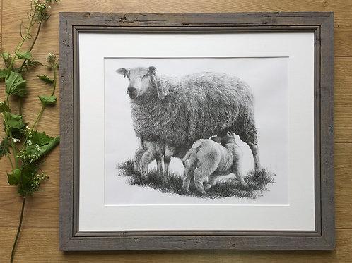 Sheep original pencil drawing | 'Mothers Delight'