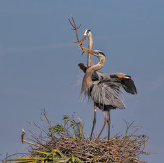 Great Blue Herons Male and Female
