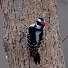 Downey Woodpecker  Male
