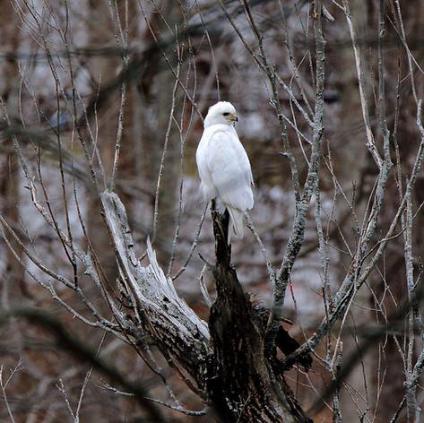 Leucistic Red-tailed Hawk