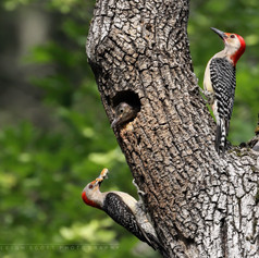 Red-bellied Woodpecker Family - bottom left is female, top right is male