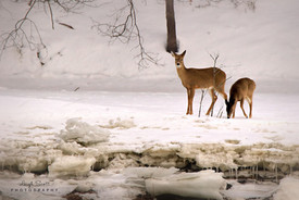 White-tailed Deer & Fawn