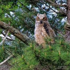 Great Horned Owl - Fledgling
