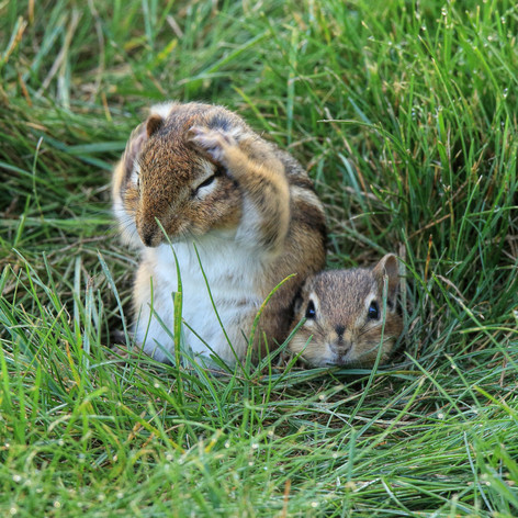 Eastern Chipmunk and Pup