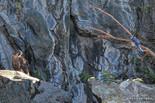Juvenile Peregrine Falcon and Blue Jay