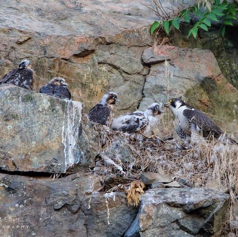 Peregrine Falcon and Chicks