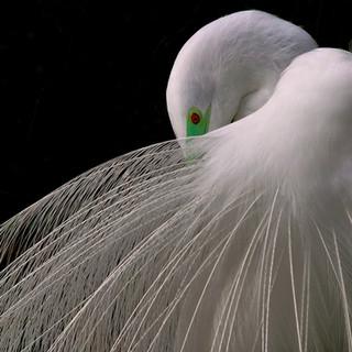 Great Egret - Breeding Plumage
