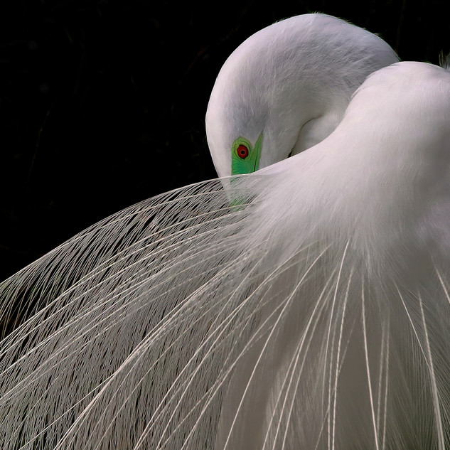 Great Egret - Breeding Plumage