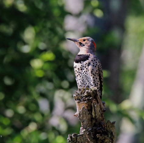 Northern Flicker - Yellow Shafted Male