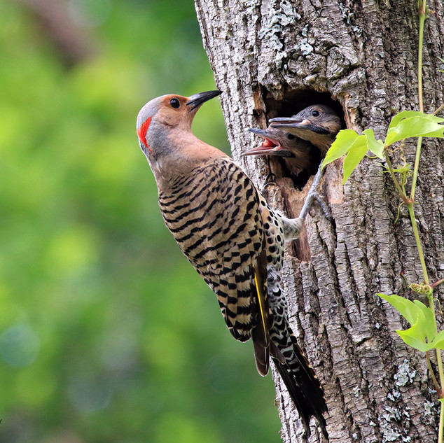 Yellow-shafted Northern Flicker and chicks