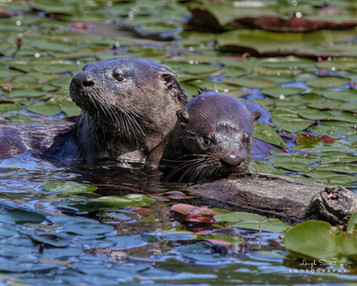 River Otter and Pup