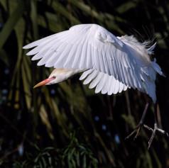 Cattle Egret - Breeding Plumage