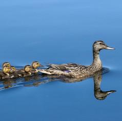 Mallard Hen with Ducklings