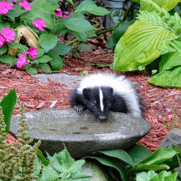 Striped Skunk - Juvenile
