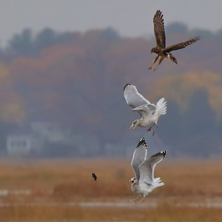 Northern Harrier and Gulls