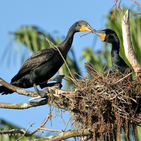 Double-crested Cormorant Male and Female