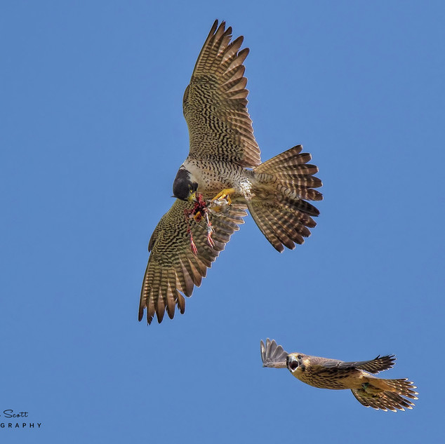 Peregrine Falcon & Fledgling