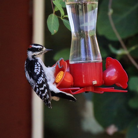 Downey Woodpecker Male (with Ruby-throated Hummingbird Friend)